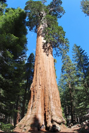 General Grand Tree - Kings Canyon, California